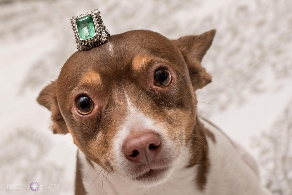 Wedding photograph of a dog with an emerald ring on his head